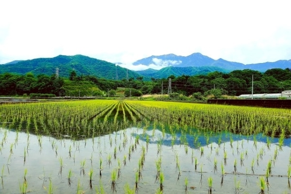 paddy field in the countryside