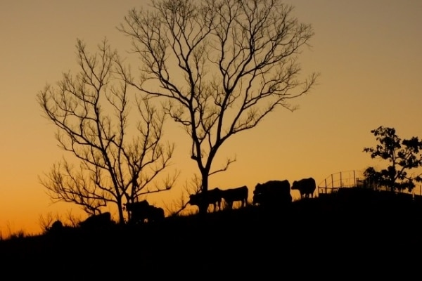 A herd of cows walking with the sunset in the background.